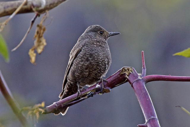 Blue Rock-Thrush (pandoo)