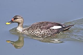 Indian Spot-billed Duck, ML204731471