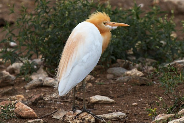 Cattle Egret (Eastern)