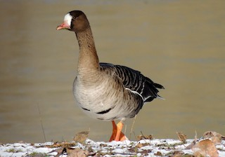 Greater White-fronted Goose, ML204766521