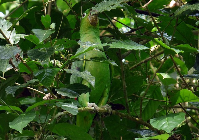 Mealy Parrot (Northern)