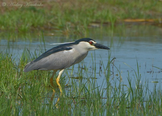 Black-crowned Night-Heron (Eurasian)