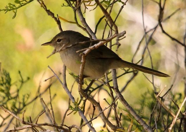 Madagascar Brush-Warbler