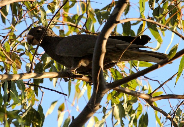 Lesser Vasa Parrot (Black)