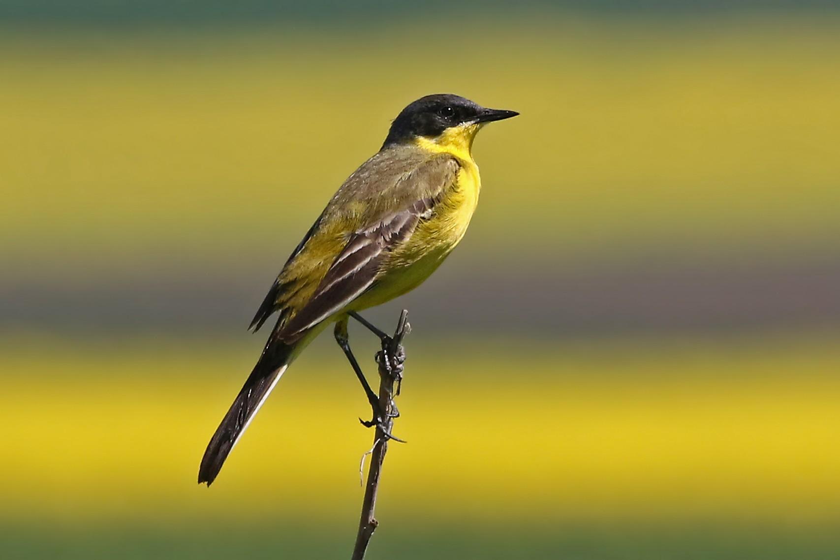 Western Yellow Wagtail (feldegg) - Phillip Edwards