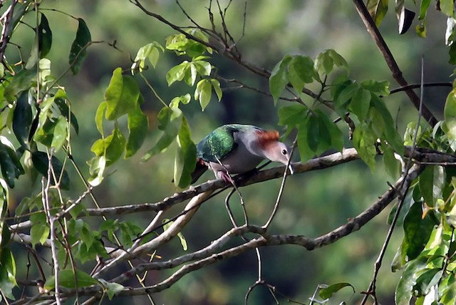 Green Imperial-Pigeon (Rufous-naped)