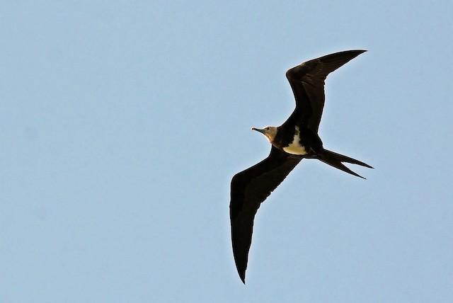 Lesser Frigatebird (Lesser)