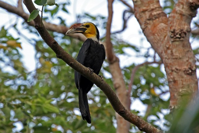 Sulawesi Hornbill (Dwarf)