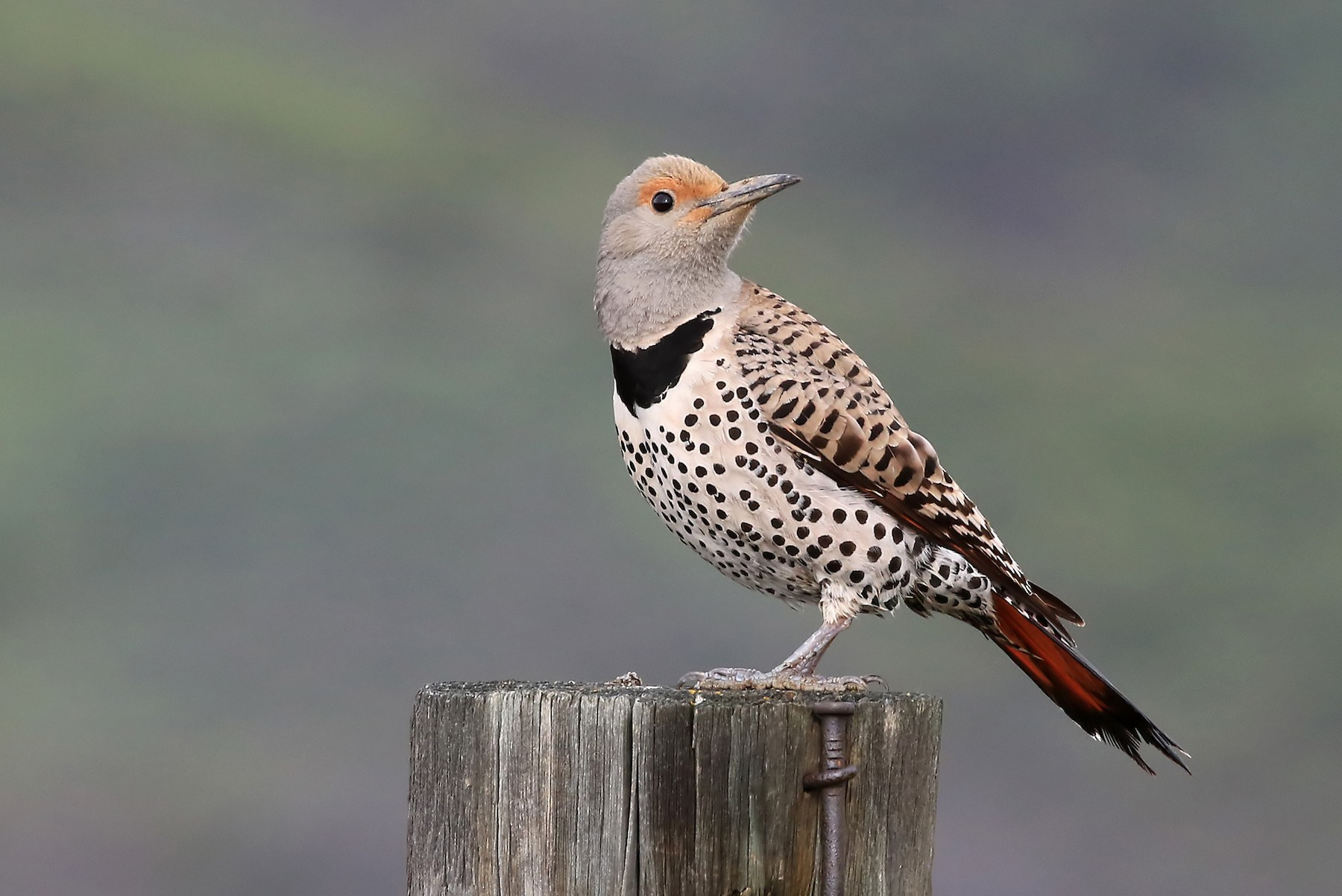Northern Flicker (Red-shafted) - Phillip Edwards