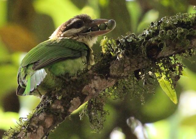 Adult bird carrying food.