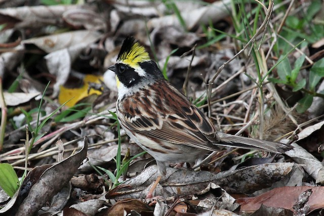 Yellow-throated Bunting
