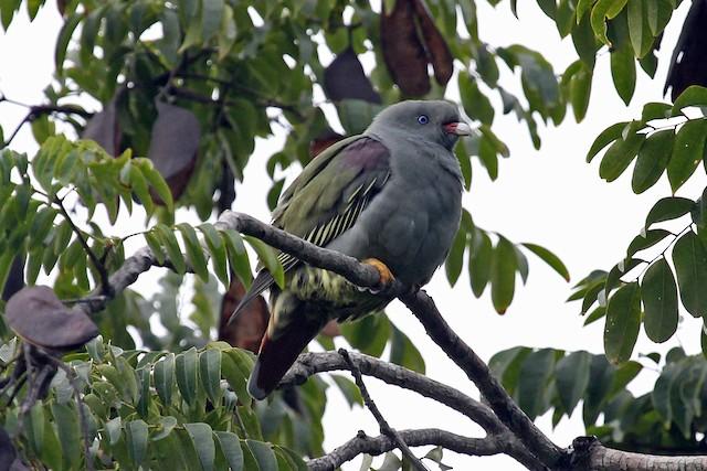 Pemba Green-Pigeon