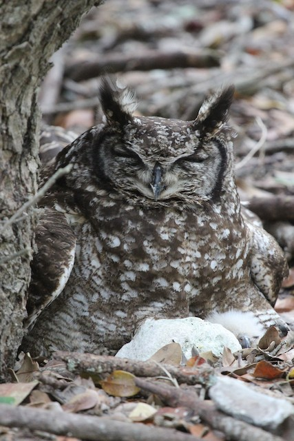 Spotted Eagle-Owl (Spotted)