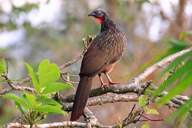 Band-tailed Guan