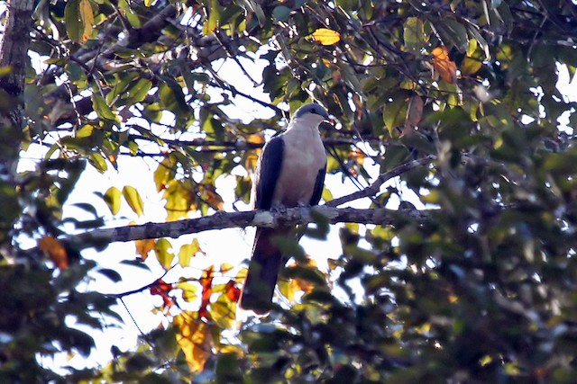 Buru Mountain-Pigeon