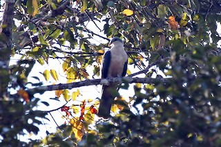 - Buru Mountain-Pigeon