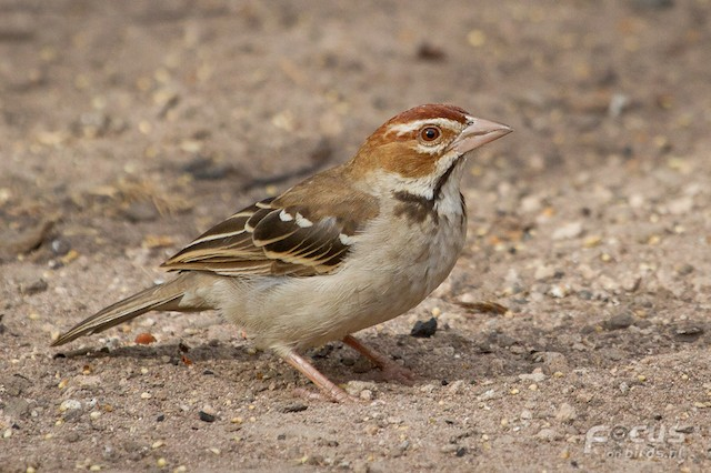 Chestnut-crowned Sparrow-Weaver