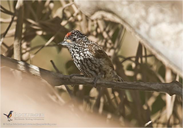 White-wedged Piculet