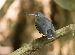 - Black-chinned Antbird