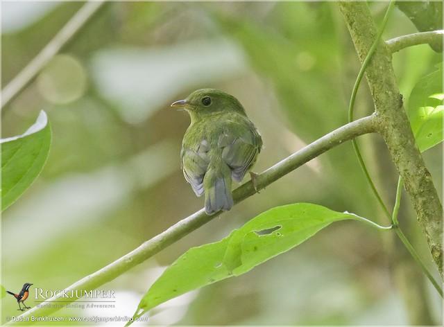 Green Manakin (Green)