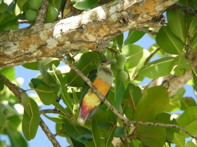 Palau Fruit-Dove