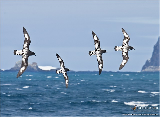 Cape Petrel (Antarctic)