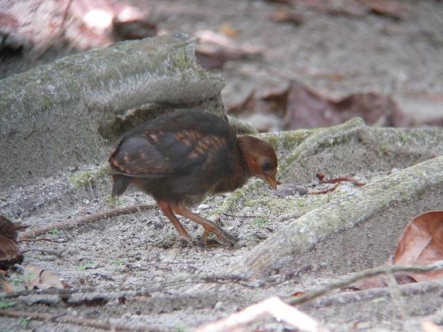 Micronesian Scrubfowl