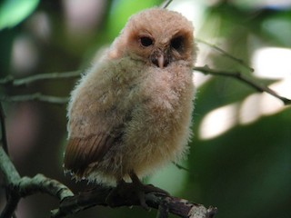 - Palau Owl