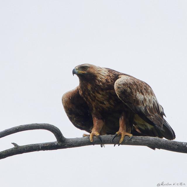 Golden Eagle (Russia).