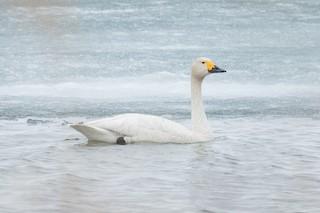 Tundra Swan (Bewick's), ML204918451