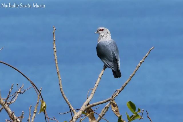 Comoro Blue-Pigeon