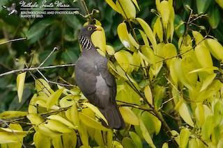 - Comoro Pigeon