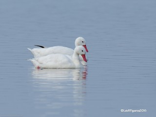 Coscoroba Swan, ML204928131