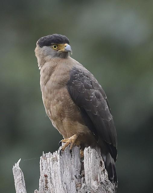 Nicobar Serpent-Eagle
