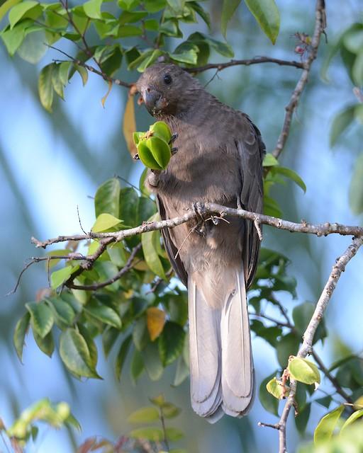 ©Mark Van Beirs - Seychelles Parrot