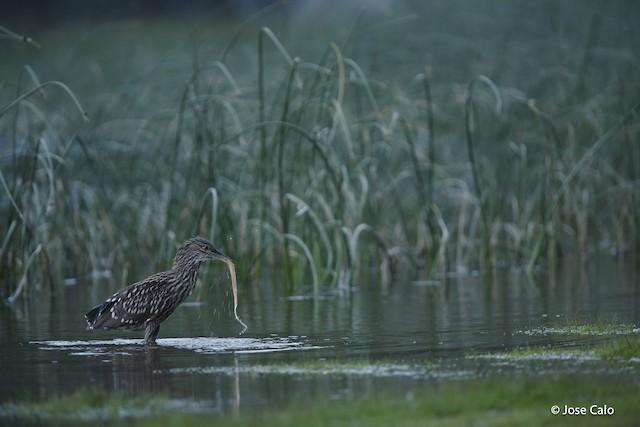 Black-crowned Night-Heron (Dusky)