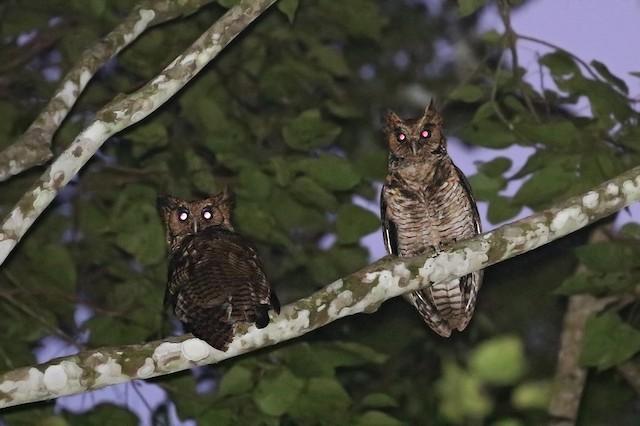 Usambara Eagle-Owl