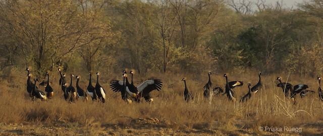 Black Crowned-Crane