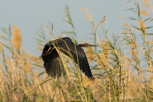 Purple Heron (Purple)