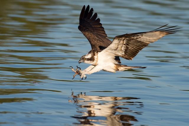 Osprey (haliaetus)