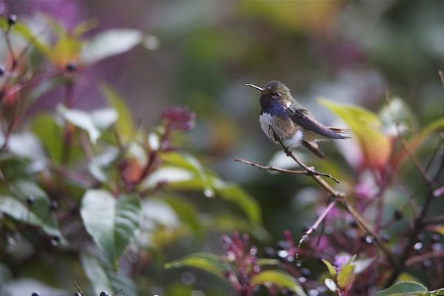 Volcano Hummingbird (Heliotrope-throated)