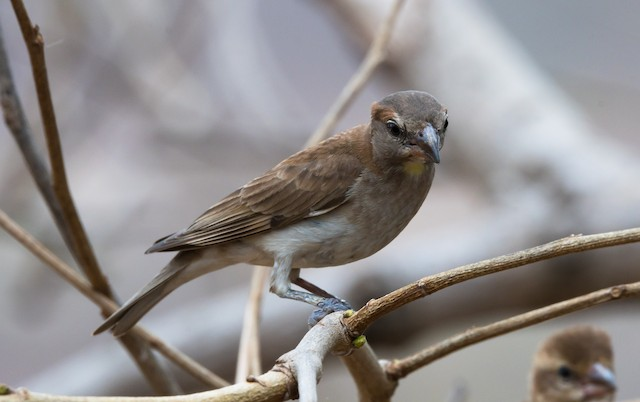 Sahel Bush Sparrow