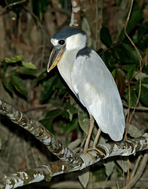 Boat-billed Heron (Southern)