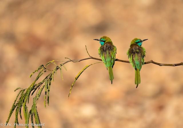 Green Bee-eater (Arabian)