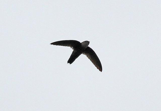 Band-rumped Swift (aetherodroma)