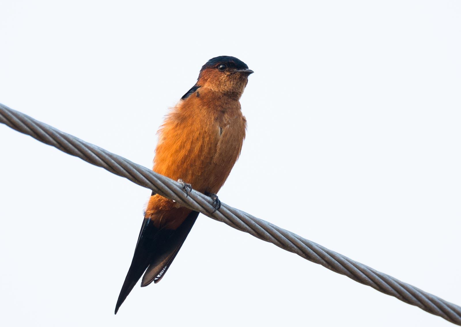 Sri Lanka Swallow - Eric francois Roualet