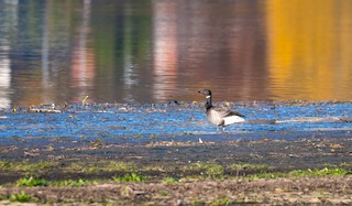 Brant (Dark-bellied)