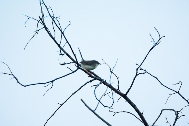 Gray-breasted Prinia