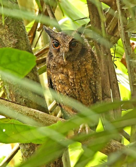 Tawny-bellied Screech-Owl (Tawny-bellied)
