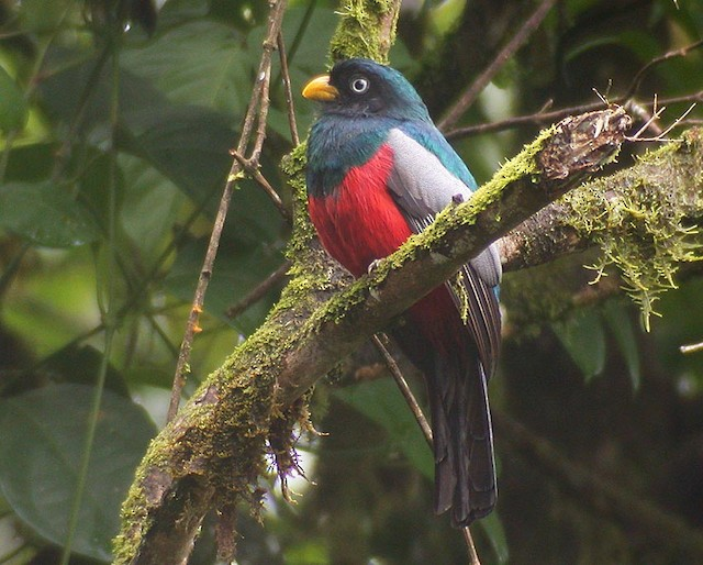 Blue-tailed Trogon